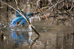 Color hermoso de la consumición del martín pescador azul y marrón Foto de archivo