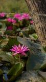 Color hermoso de la mañana de Lotus Fotos de archivo