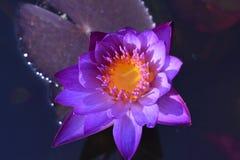 Color hermoso de la mañana de Lotus Imágenes de archivo libres de regalías