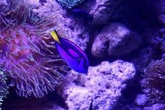 Color hermoso del pez de san Pedro fotografía de archivo