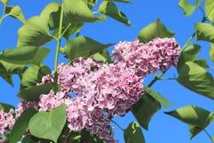 Color hermoso floreciente del rosa de la lila de la primavera contra un cielo azul fotografía de archivo