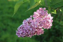 Color hermoso floreciente del rosa de la lila de la primavera en un fondo verde fotos de archivo