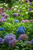 Color hydrangea flowers in garden Royalty Free Stock Photography
