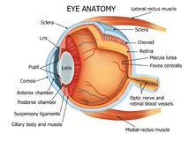Human Eye Anatomy. Color illustration of the anatomy of the human eye and related structures right eye, from above royalty free illustration