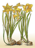 Color illustration of daffodils with bulbs  Royalty Free Stock Photos