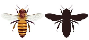 Color image of the bee and its dark silhouette. Vector illustration. Vector picture of an ordinary bee in color and its silhouette on a white background. View stock illustration