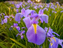 In winter, it was taken in shenzhen people`s park. Color iris,Scientific name:Iris versicolor L Stock Photography