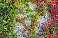 The color ivy on a stone wall, a beautiful background Stock Images