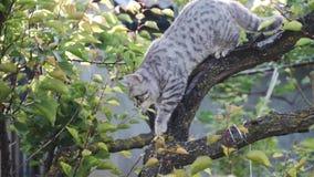 Color joven escocés Whiskas del gato, suavemente abajo de la rama de árbol almacen de metraje de vídeo