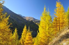 The color of larch Royalty Free Stock Photography