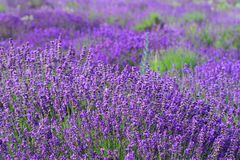 Color lavender field Stock Photos