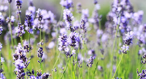 Color lavender field Stock Photography