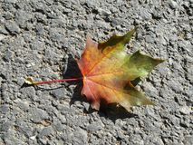 Color leaf. Maple leaf in autumn colors Stock Photo