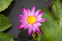 Color lotus Royalty Free Stock Photography