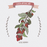 Color Lycium barbarum aka Goji berry sketch. Stock Photo