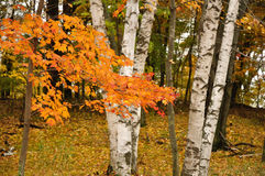 Color Maple Leaves and Birch Trees Stock Photography