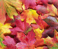 Color maple leaves. Royalty Free Stock Photo