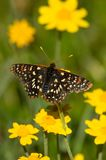 Color Matching. The tips of the Edith`s Checkerspot Euphydryas editha antennae are yellow and match the flowers of the Wooly Sunflower Eriopyllum lanatum it is Royalty Free Stock Photos