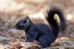 Color morphed Eastern Gray Squirrel details royalty free stock photo