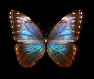 Color Morpho butterfly , isolated on the black