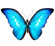 Color Morpho butterfly , isolated on the white
