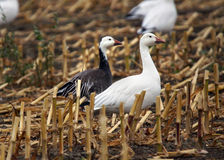 Color morphs of snow geese. The blue and white morphs or colors of snow geese, Chen caerulescens Stock Photos