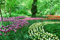 Color oasis with tulips. Tulips in full bloom in Moscow in the Apothecary garden Stock Photo