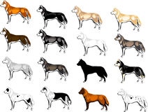 Color options Huskies. Vector drawing color options Huskies Stock Photography