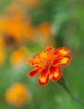 color orange vibrerande för blommor Royaltyfri Bild
