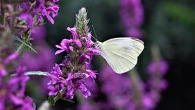 color púrpura amaizing de la mariposa que localiza en una flor foto de archivo libre de regalías