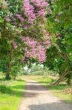 Color púrpura de la flor del speciosa del Lagerstroemia en parque al aire libre Imagen de archivo libre de regalías