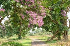 Color púrpura de la flor del speciosa del Lagerstroemia en parque al aire libre Fotos de archivo