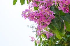 Color púrpura de la flor del speciosa del Lagerstroemia en parque al aire libre Imagen de archivo