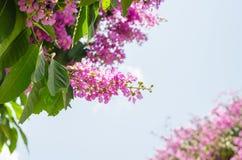 Color púrpura de la flor del speciosa del Lagerstroemia en parque al aire libre Foto de archivo
