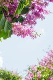 Color púrpura de la flor del speciosa del Lagerstroemia en parque al aire libre Fotografía de archivo