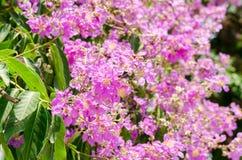 Color púrpura de la flor del speciosa del Lagerstroemia en parque al aire libre Imagenes de archivo