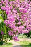 Color púrpura de la flor del speciosa del Lagerstroemia en parque al aire libre Fotografía de archivo libre de regalías