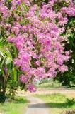 Color púrpura de la flor del speciosa del Lagerstroemia en parque al aire libre Foto de archivo libre de regalías