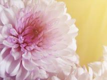 Color púrpura y dulce de la margarita del Gerbera Imagen de archivo libre de regalías