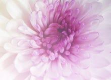Color púrpura y dulce de la margarita del Gerbera Imagenes de archivo