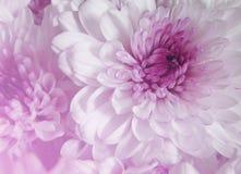 Color púrpura y dulce de la margarita del Gerbera Imagen de archivo