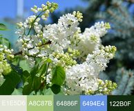 The color palette of flowers on the image of white lilac against the background of the spring sky.  royalty free stock images