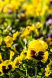Color pancy flower Royalty Free Stock Photos