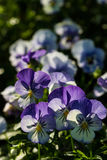 Color pancy flower Royalty Free Stock Images