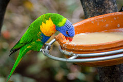Color parrot is eating from a plate Stock Photos