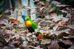 Color parrot in natural habitat Royalty Free Stock Photography