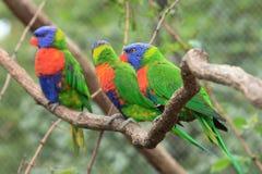 Color parrots Stock Photography