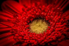 Color of passion. Close up of a red Gerbera daisy, one of my favorite flowers stock image
