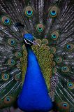 The color peacock. In zoo Royalty Free Stock Image