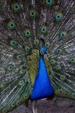 The color peacock. In zoo Royalty Free Stock Photo